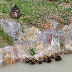 Ducks on the tailings pond